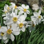 Ready Potted 1 Litre Pot  PHEASANT EYE NARCISSUS POETICUS  (RECURVUS)