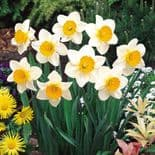 Ready Potted 1 Litre Pot   SEMPRE AVANTI LARGE CUPPED DAFFODIL