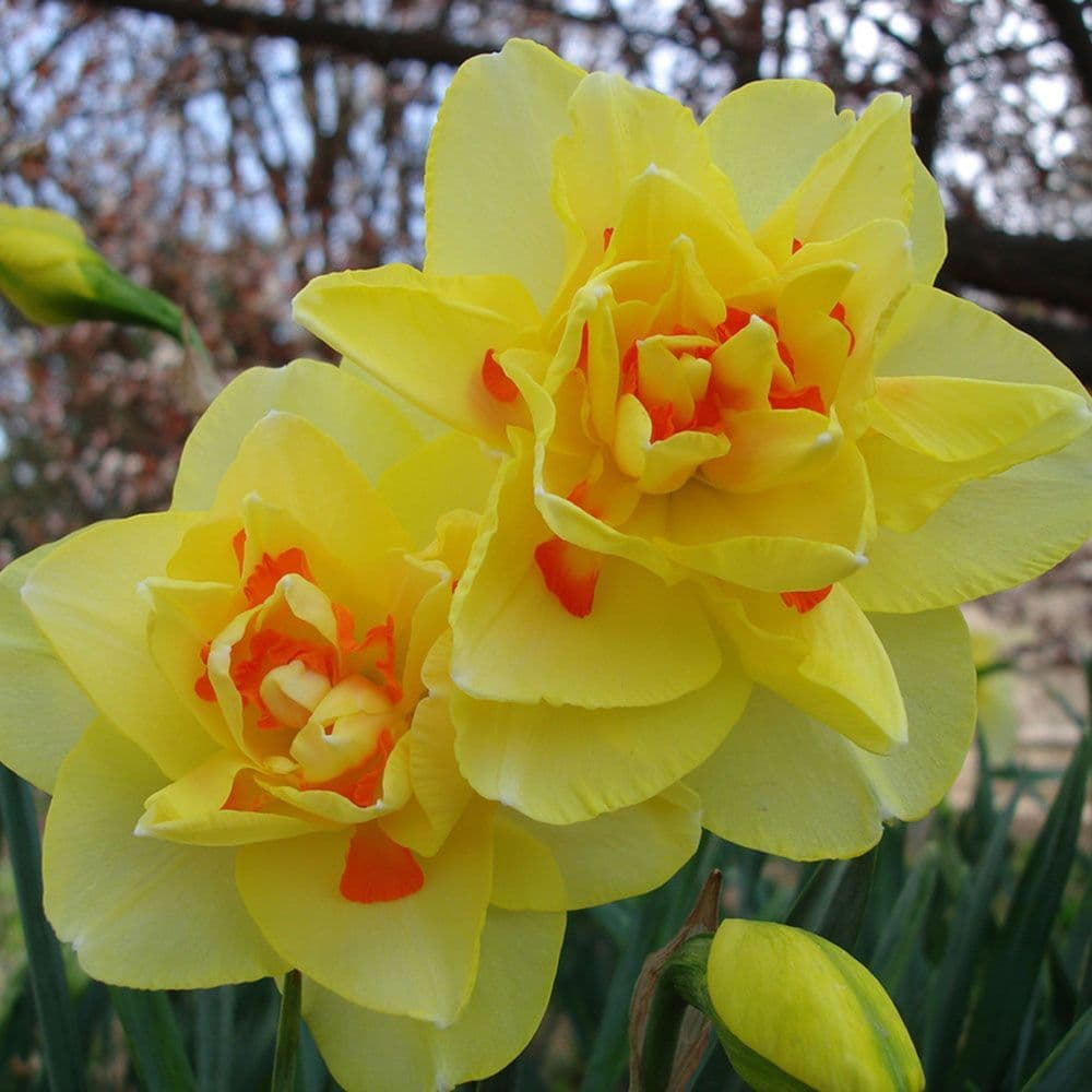 Ready Potted 1 Litre Pot  TAHITI DOUBLE DAFFODIL /NARCISSUS