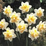 Ready Potted 1 Litre Pot   WHITE LION  DOUBLE NARCISSI