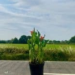 Ready Potted 1 Litre Pot   ZANTEDESCHIA  FLAME  CALLA  (Arum) Lily