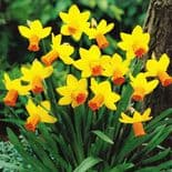 Ready Potted 9cm Pot  JETFIRE NARCISSUS Miniature Daffodil/Narcissi