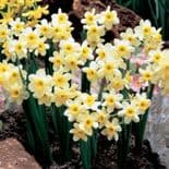 Ready Potted 9cm Pot   MINNOW NARCISSUS Miniature Daffodil/Narcissi