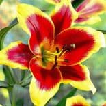 RED MORNING Oriental Lily