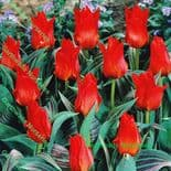 Red Riding Hood Greigii Tulip Bulbs
