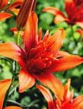 RED TWIN DOUBLE POLLEN FREE ASIATIC LILY