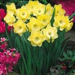 SAINT PATRICK'S DAY LARGE CUPPED DAFFODIL