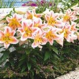 SALMON STAR DWARF  ASIATIC LILY