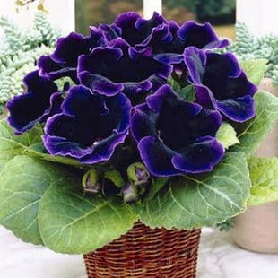 VIOLACEA  GLOXINIA   BULBS/CORMS