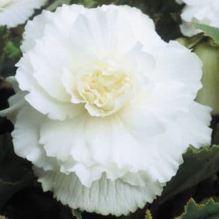 WHITE DOUBLE BEGONIA